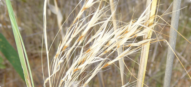 Ribbon grass seedhead with golden brown hairs and bent awns visible.