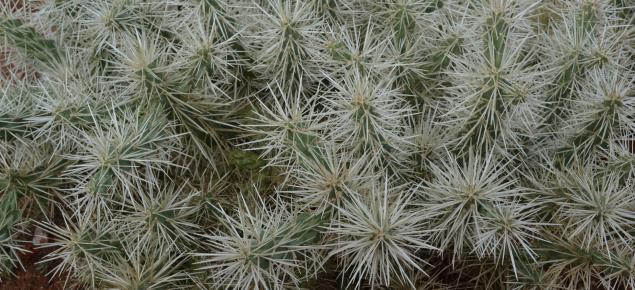 Cylindropuntia rosea plant