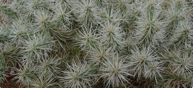Opuntioid cactus: declared pests | Agriculture and Food