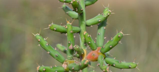 Cylindropuntia leptocaulis plant