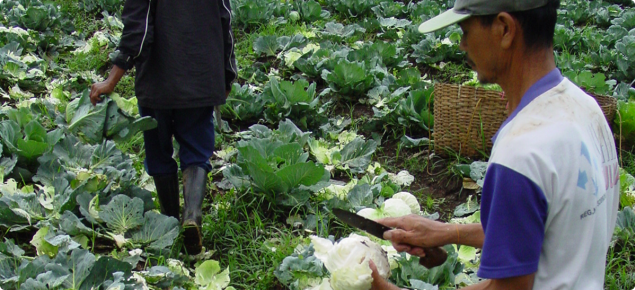 Some markets for cabbage require removal of outer leaves. Therefore insects that chew only the outer leaves may not need to be controlled