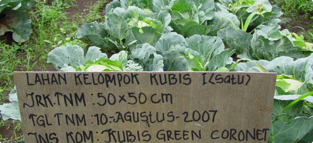 Improvements to cabbage cultivation in Indonesia are made through research