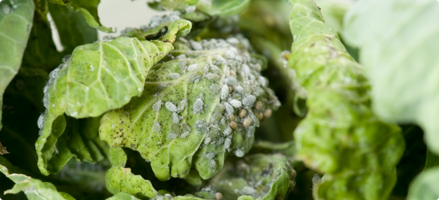 Cabbage aphids can retard seedling growth and foul mature plants in brassica vegetable crops. Photo courtesy Pia Scanlon, DAFWA