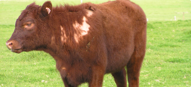 Calf with sucking lice