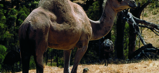 The camel is grey brown or dun coloured with a darker hump, shoulder and back of the neck