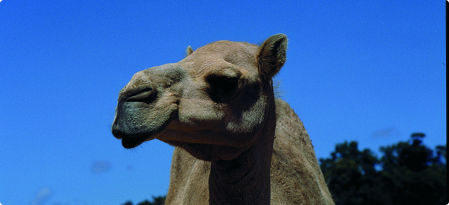 The Arabian camel is the only species found feral in Australia