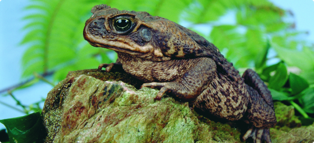 Cane toad sitting on a rock.