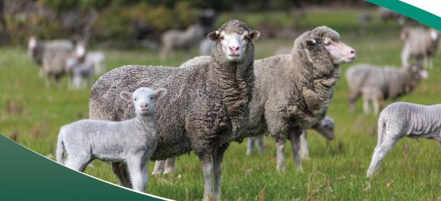 Ewe abortions and newborn lamb deaths surveillance program poster