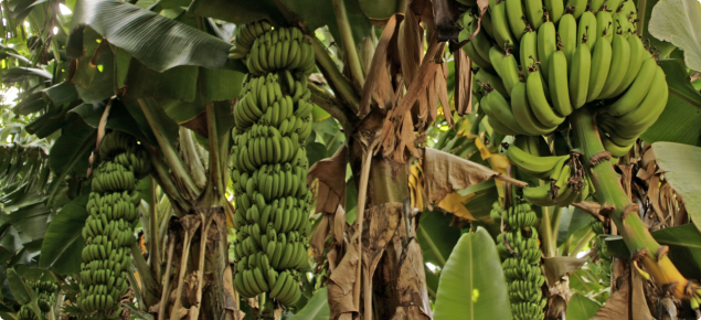 Bananas growing under net at Gascoyne Research Facility