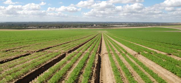 Healthy carrot crop