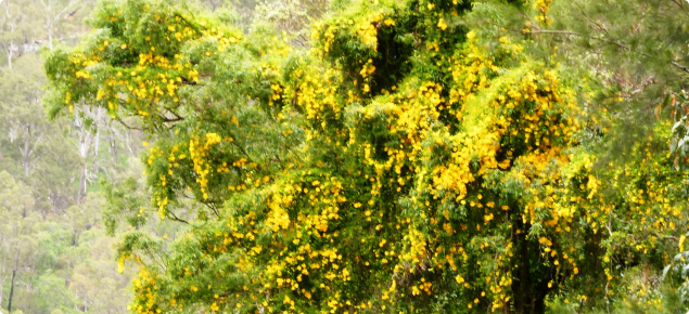 Cat's claw creeper smothering mature trees
