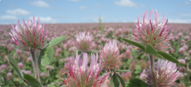 Close up of Rose Clover flowers in a Certified seed crop