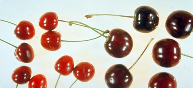 Cultivar Lambert cherries with Little cherry disease symptoms (left) and healthy fruit (right)