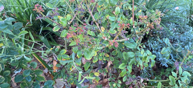 Damage to a rose plant caused by chilli thrips