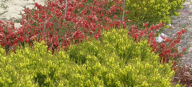 Red and yellow verticordias in flower