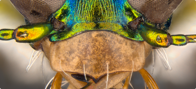 Close up of Cicindela rafflesia head