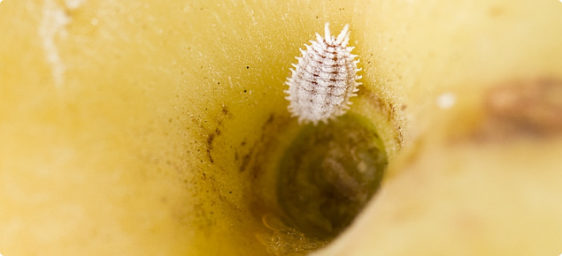 Citrophilus mealybug on a fruit