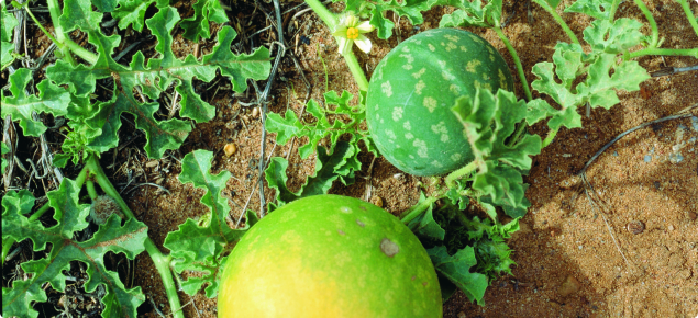 Afghan Melon