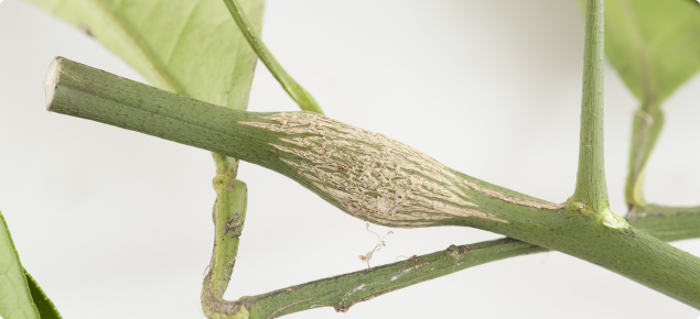 The swelling of part of a citrus tree branch, indicating an insect gall