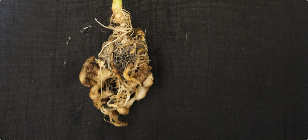 Brassica plant roots infected with the disease which causes clubroot.  The roots of the plant are swollen, twisted and distorted, preventing the uptake of water and nutrients.