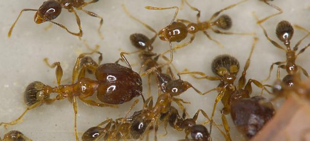 Coastal brown or big-headed ants seen under a microscope