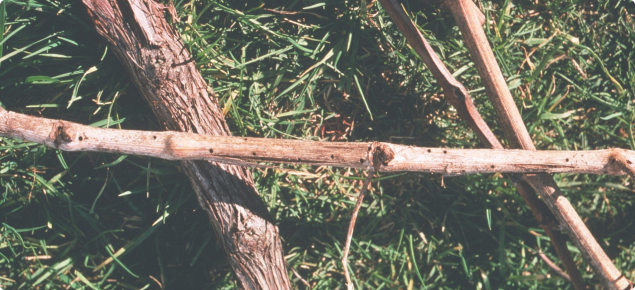 Pruned cane with 1 millimeter emergence holes from which common auger beetle has emerged