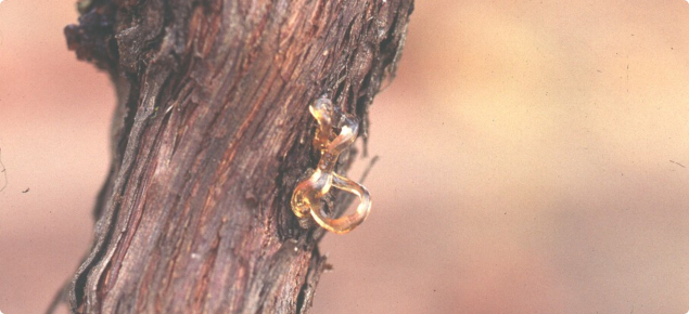 Sap exudate on the trunk of a grapevine from boring by common auger beetle