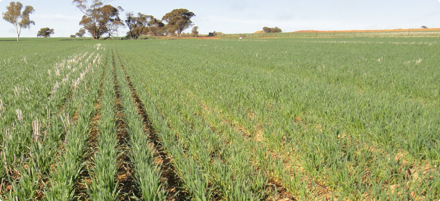 extreme compaction from uncontrolled cropping traffic restricts crop growth and nutrition after deep ripping