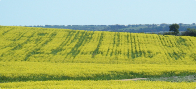 linear green patterns of delayed canola flowering caused by compaction from cropping traffic