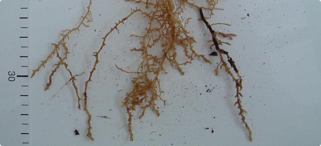 Lucerne roots thickened and distorted from growing into compacted subsoil