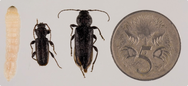 A larvae, male EHB beetle, female EHB beetle next to a 5 cent coin to illustrate the size.