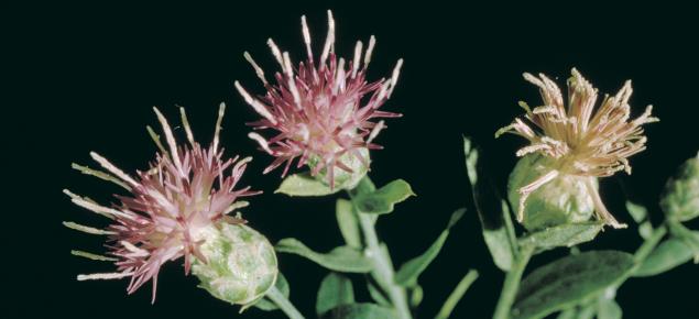 Creeping knapweed flowers