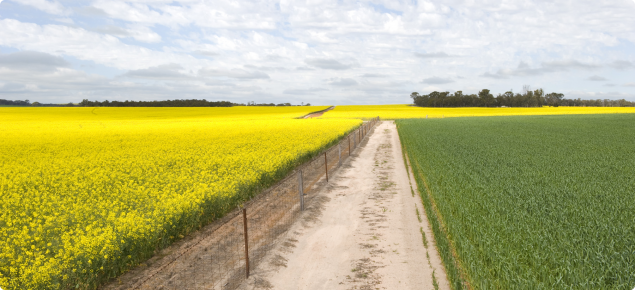 A photograph of a canola and a wheat crop on either side of a fence and sandy fire break. The canola crop is on the left and is in full flower so the photograph is dominated by the yellow of the canola flowers. On the right the green leaves of wheat seen.