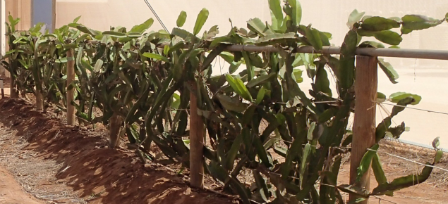 Growing Dragon Fruit In Carnarvon Agriculture And Food