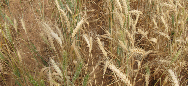 Crown rot in wheat showing white heads