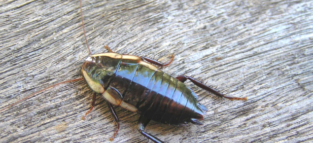 Cockroach on timber.