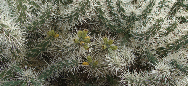Cylindropuntia rosea plant