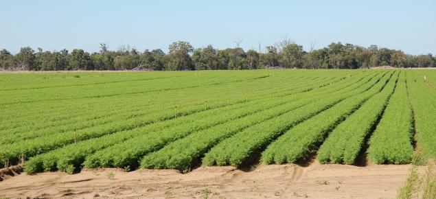 Carrot crop in Western Australia