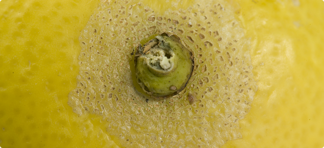 Kelly's citrus thrips damage