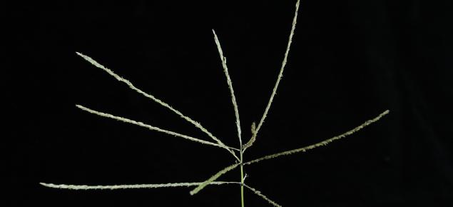 Digit grass seed head