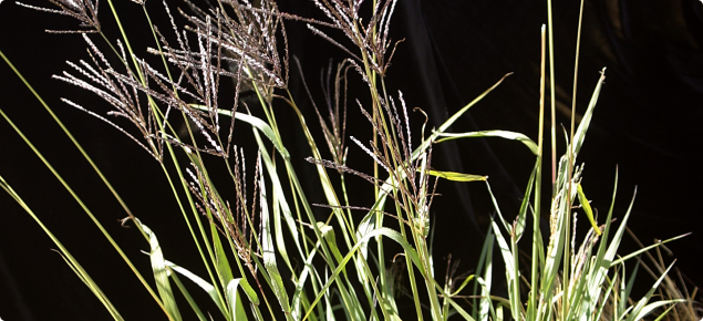 Digit grass sward