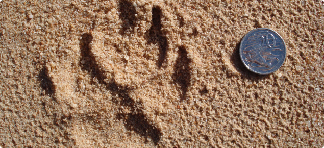 Footprint in the sand of a wild dog at the State Barrier Fence