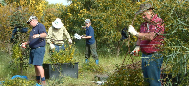 Sampling acacia saligna to find out how much carbon is in the branches and eleaves