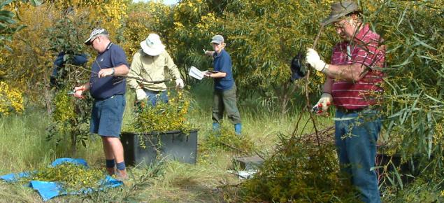 Staff from DAFWA sampling acacia saligna branches