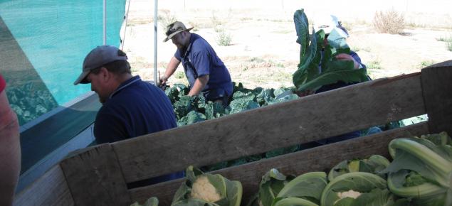 Harvesting cauliflower crop by hand