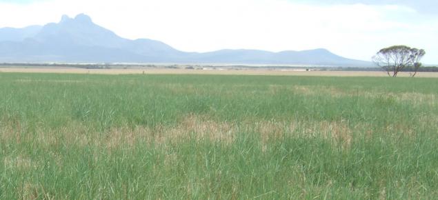 Tallwheat grass paddock at Wellstead.