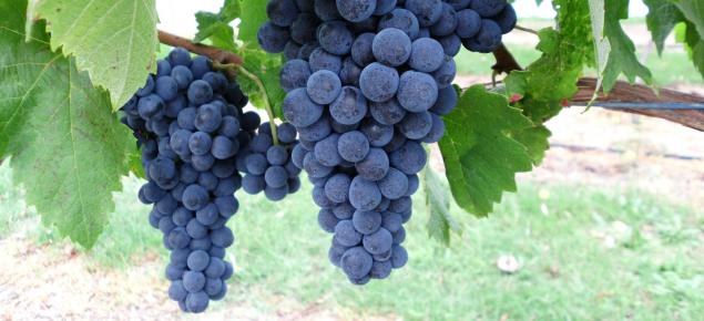 Fer wine grapes grown at Manjimup, WA