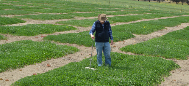 Measuring the production of new subterranean clover varieties with a plate meter