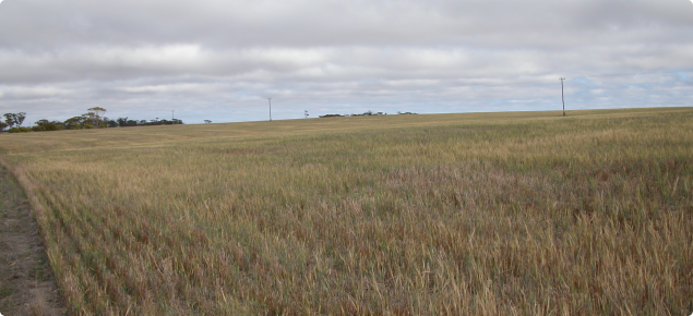 This volunteer barley crop hosted abundent stem rust when photographed in March 2004.
