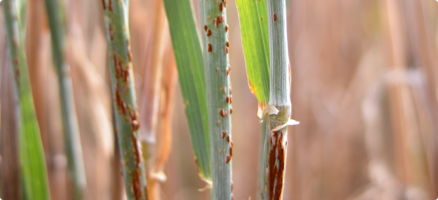 Volunteer barley can host wheat stem rust under summer green bridge conditions.